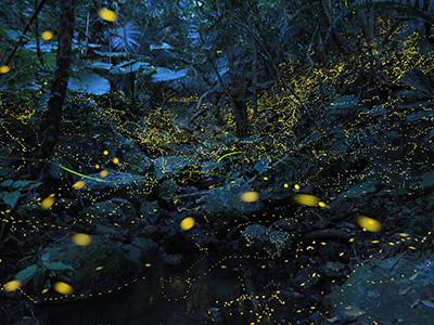 石垣島ホタルツアー・ヤエヤマボタル